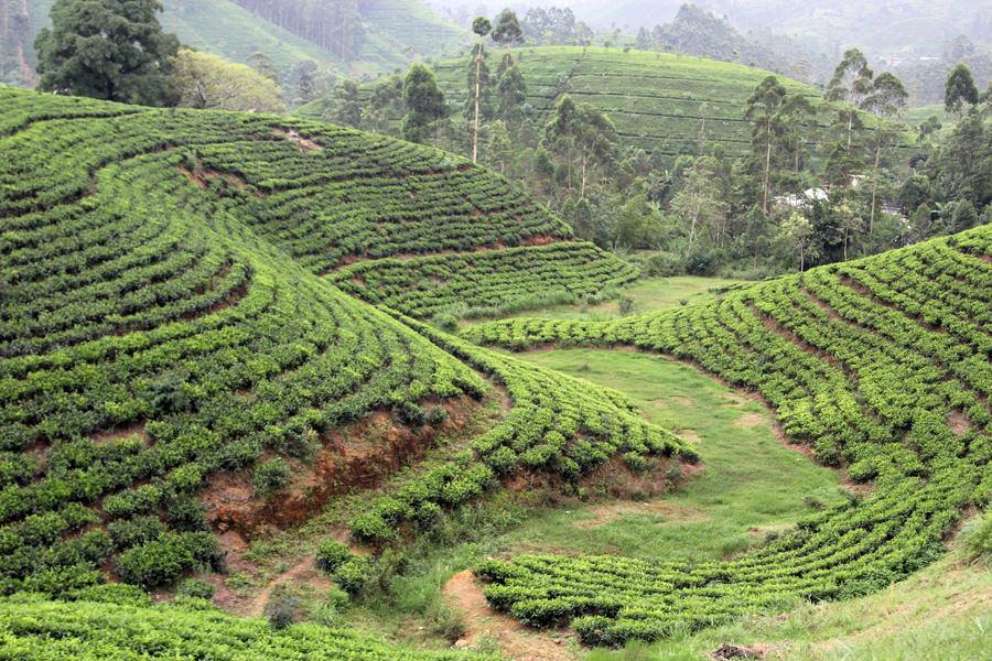Картинки по запросу чайная плантация шри ланка