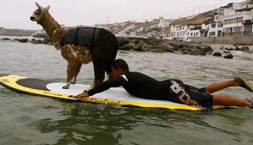 Серфинг с животными